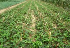 草莓种子 批发零售      草莓种子低价批发  便宜质量好