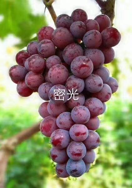 红芭拉蒂葡萄苗 致和园艺红葡萄苗品种具体介绍