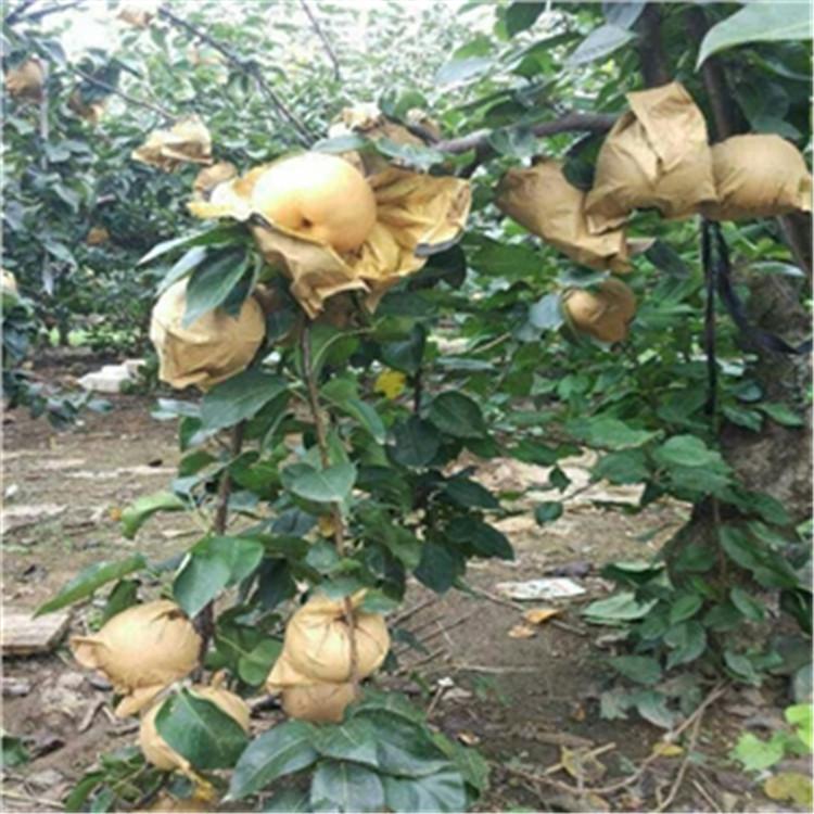 丰水梨树苗 致和园艺梨树苗基地电话 示范基地