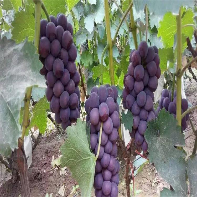 红宝石葡萄苗 致和园艺贵州葡萄苗